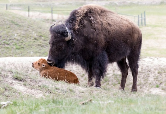 Opinion: Montana tribe deserves managing role for bison range
