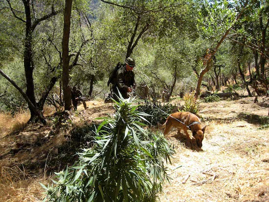 Tule River Tribe helps remove marijuana operation on reservation