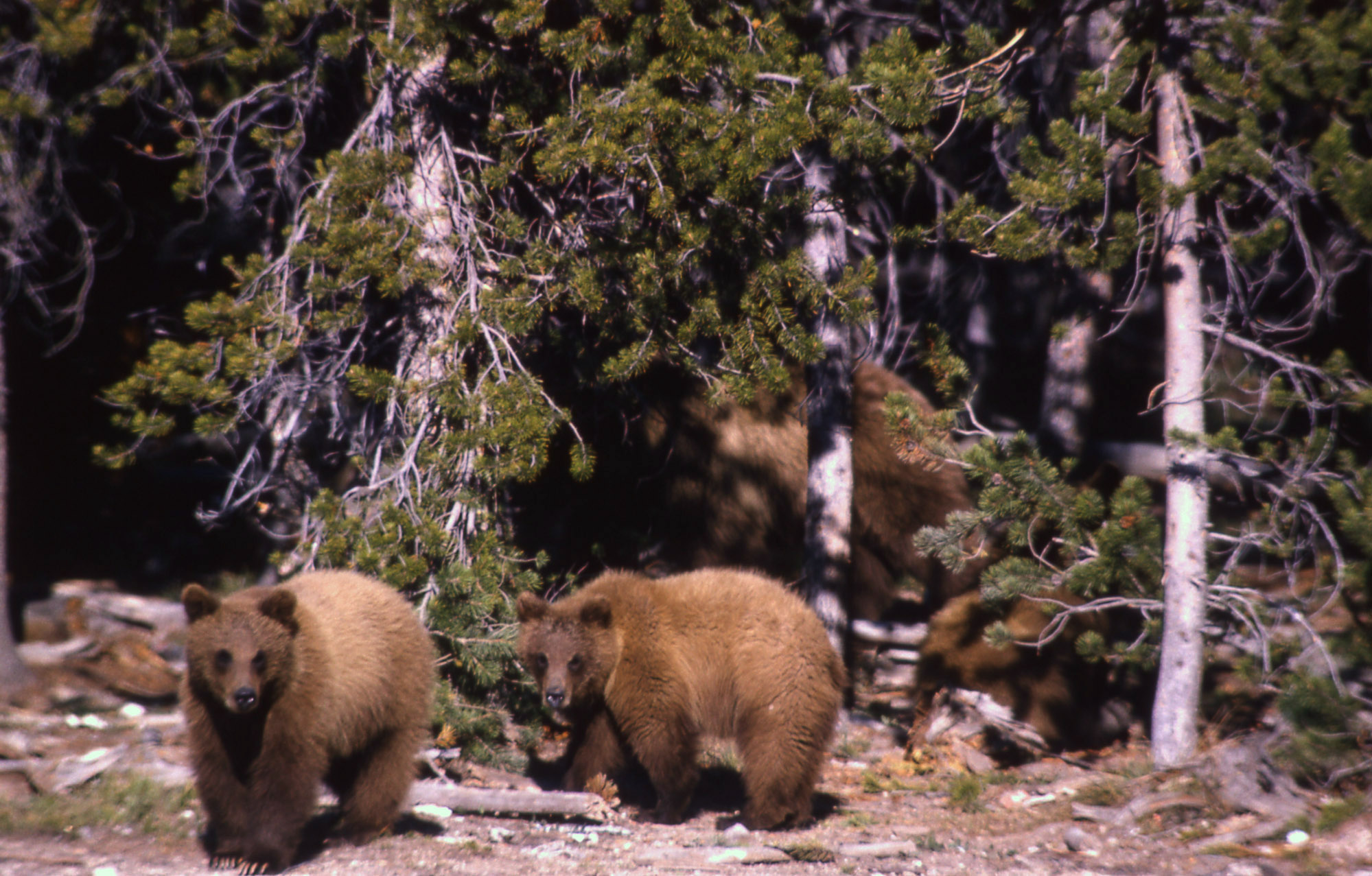Tribes demand consultation on grizzly bears in Yellowstone