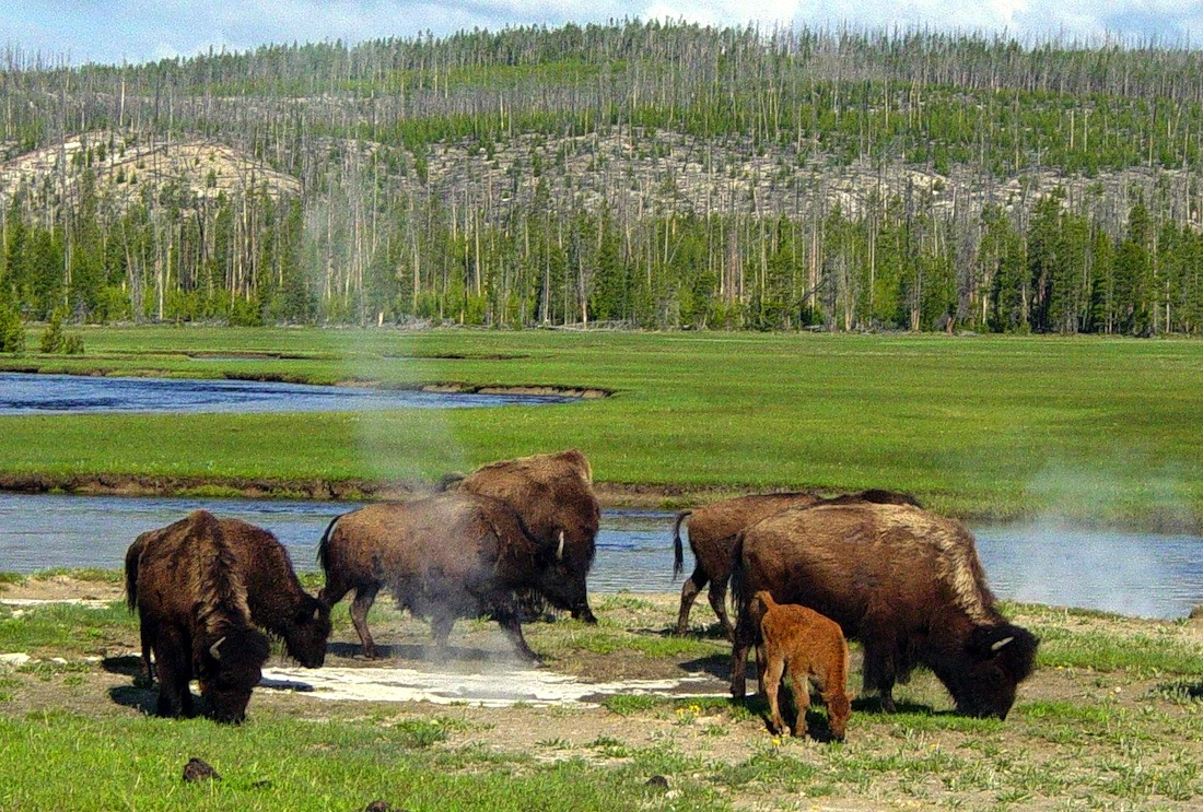 Tribal members protest killings of Yellowstone bison in Montana