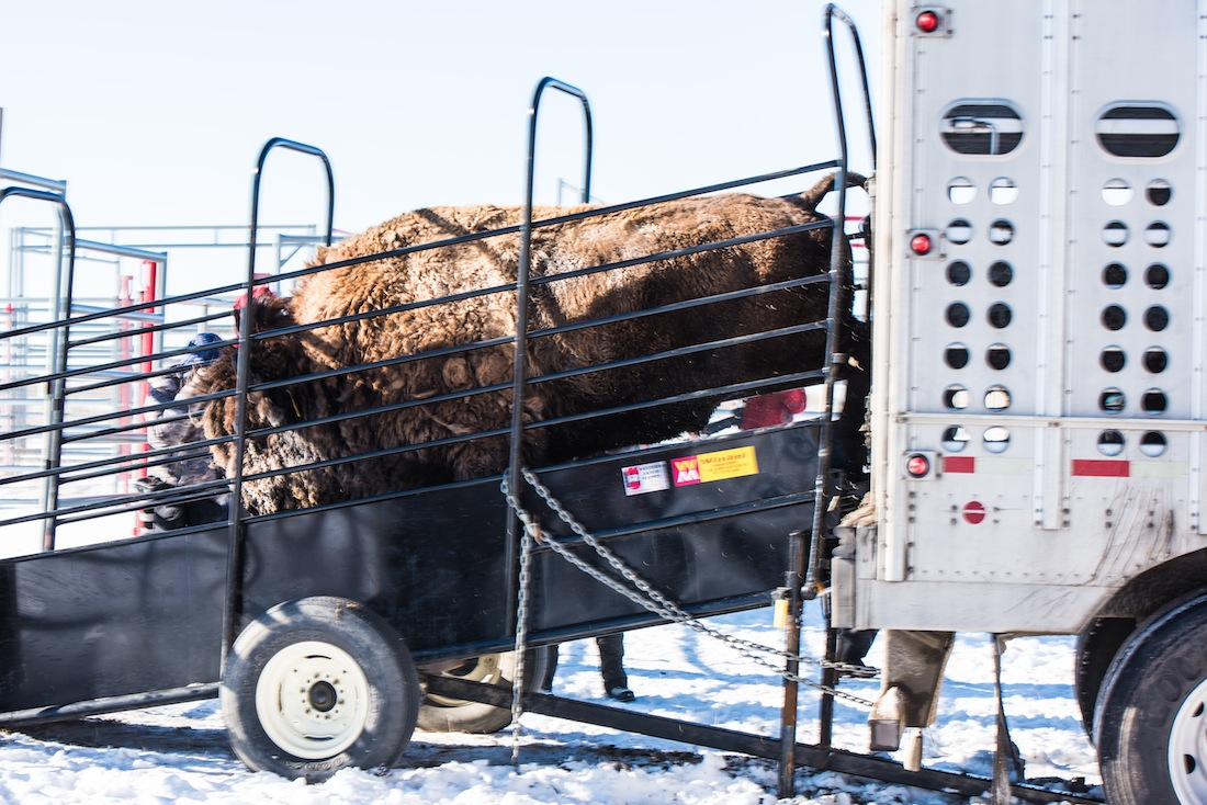 Opinion: State claims authority over bison held by Fort Peck Tribes