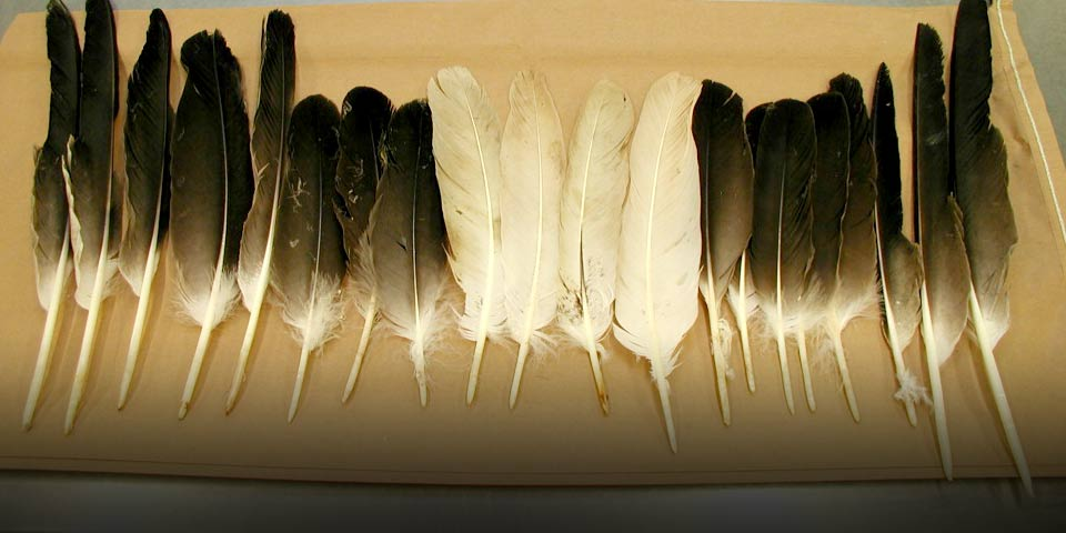Canadian man cleared of federal charges in eagle feather case