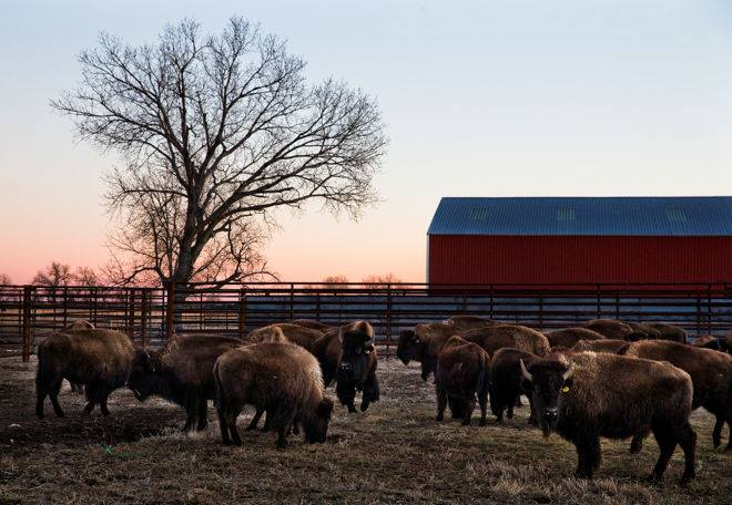 Editorial: Bison herd returns to ancestral homeland in Nebraska