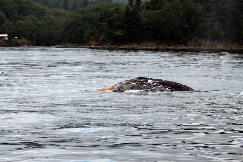 Public turns out for first hearing on Makah Nation's whale hunt