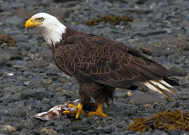 Man from Tulalip Tribes charged after clubbing two bald eagles