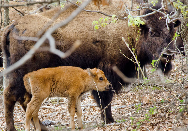 Cherokee Nation celebrates births of first calves from bison herd