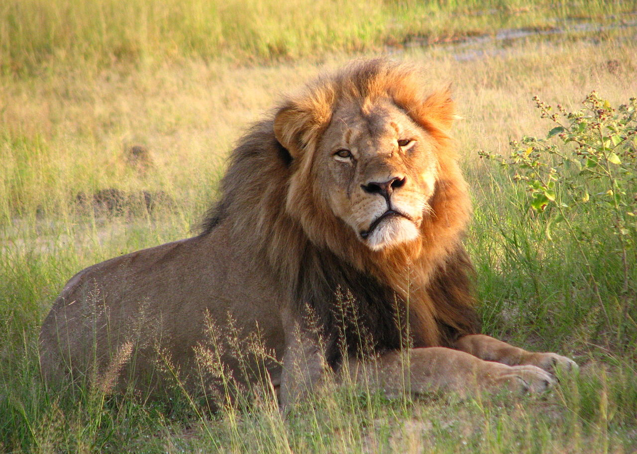 Steve Russell: Good may come from murder of Cecil the Lion