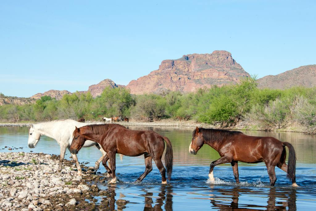Salt River Tribe opposes removal of wild horses on federal land