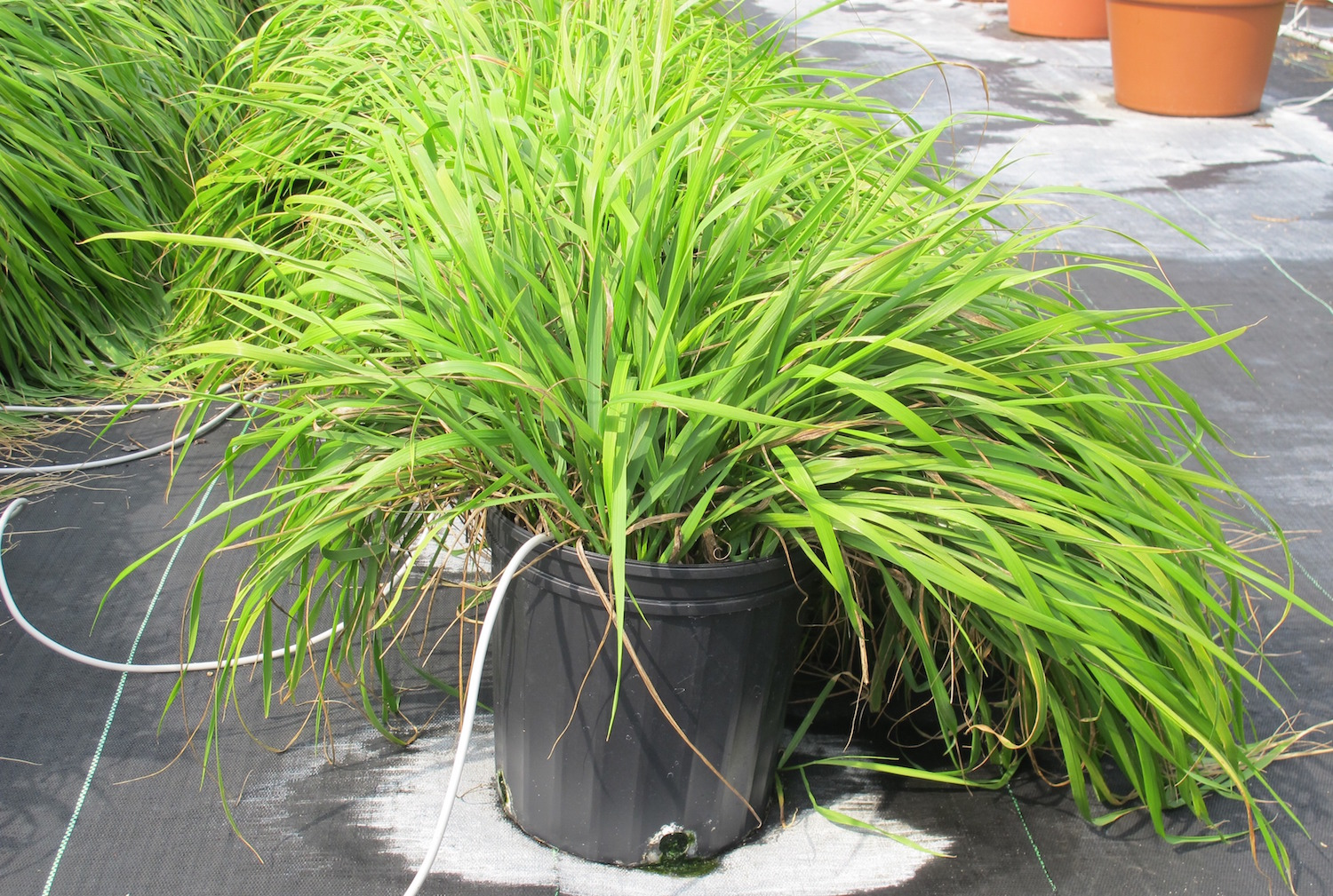 Research confirms Native use of sweetgrass as bug repellent