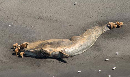 Sun'aq Tribe concerned after 30 large whales die in Gulf of Alaska