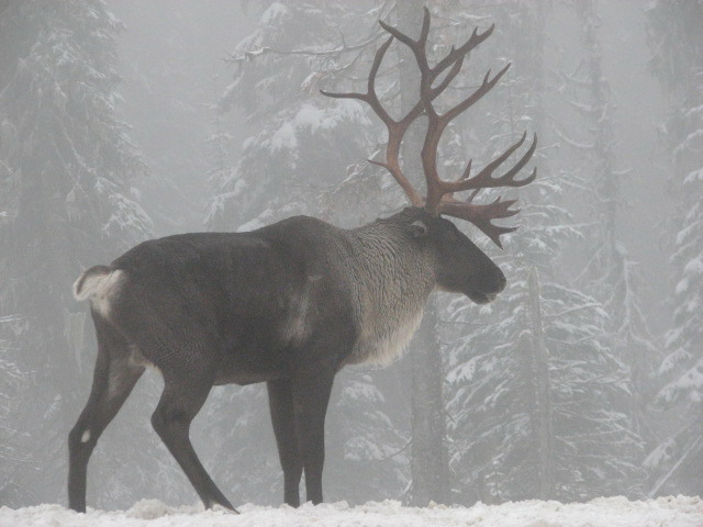 Kootenai Tribe aims to revive only herd of caribou in United States