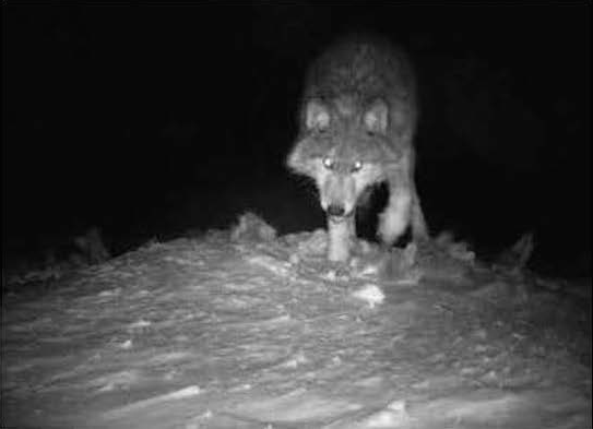 Little Traverse Bay Bands confirm one gray wolf on reservation