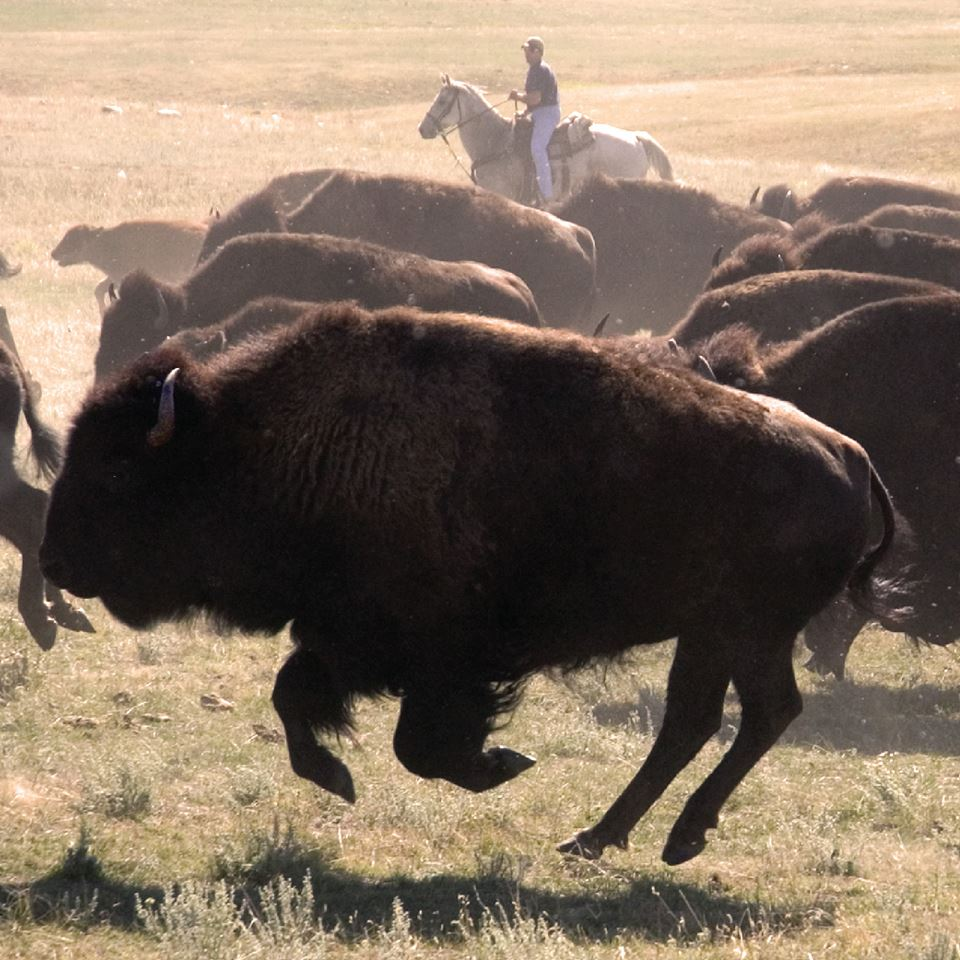 Tim Giago: The irony of the buffalo roundup in South Dakota