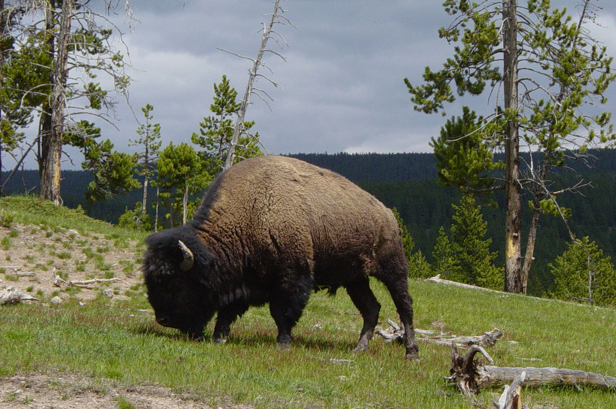 National Park Service eases on removals of Yellowstone bison