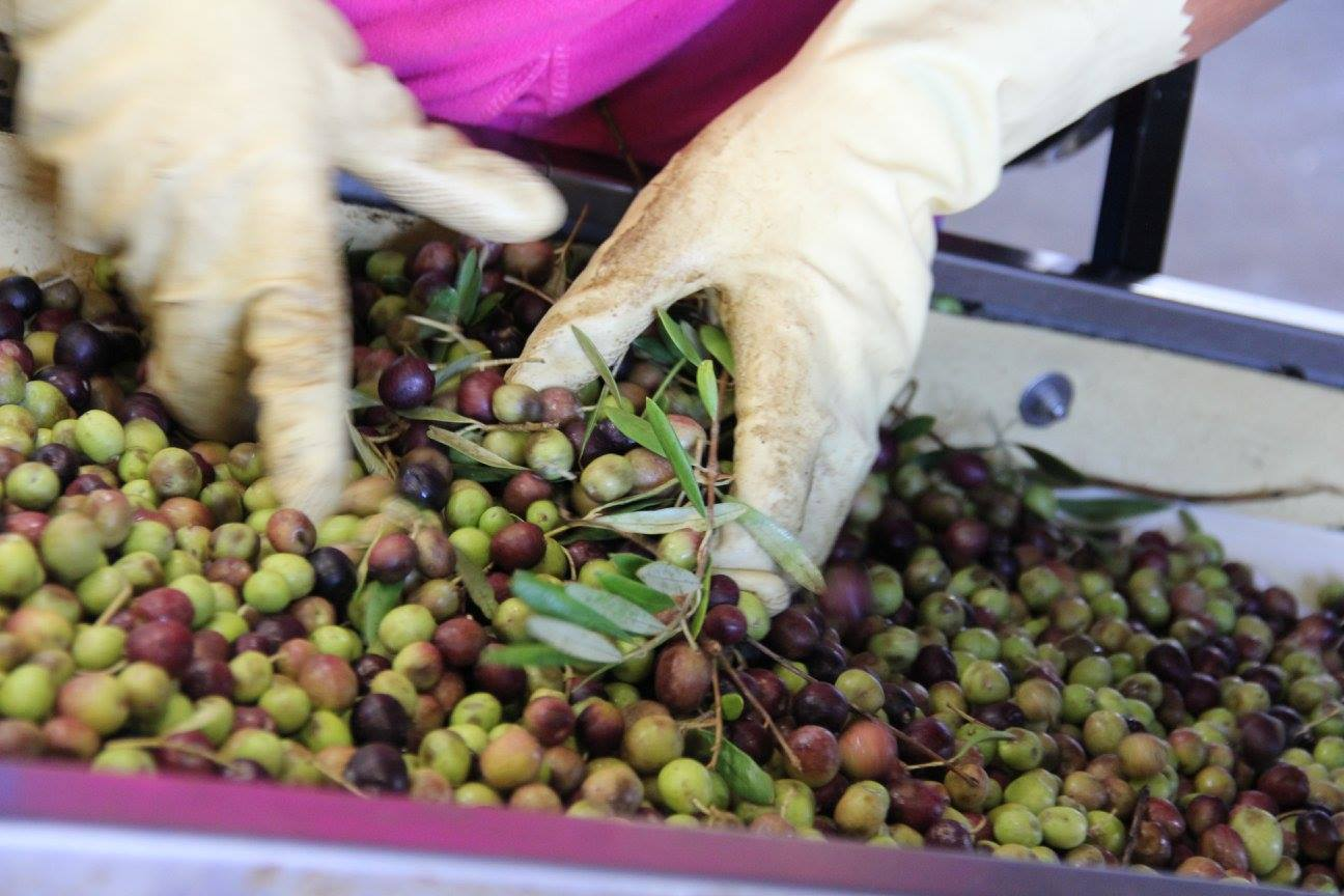 Yocha Dehe Wintun Nation grows economy with olive oil brand