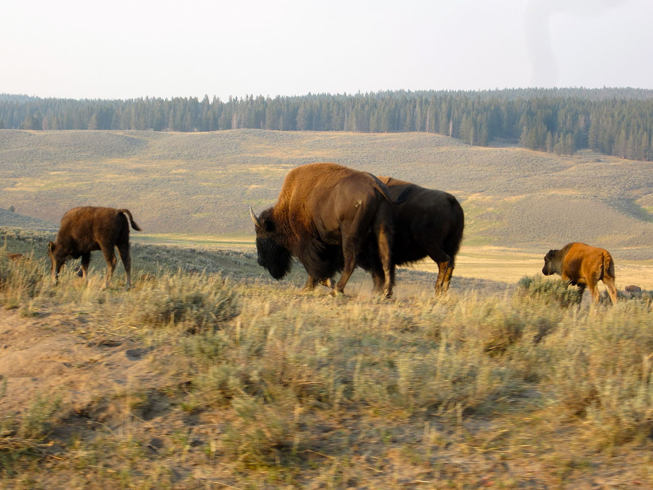 Measure to declare bison as official mammal ready for Obama