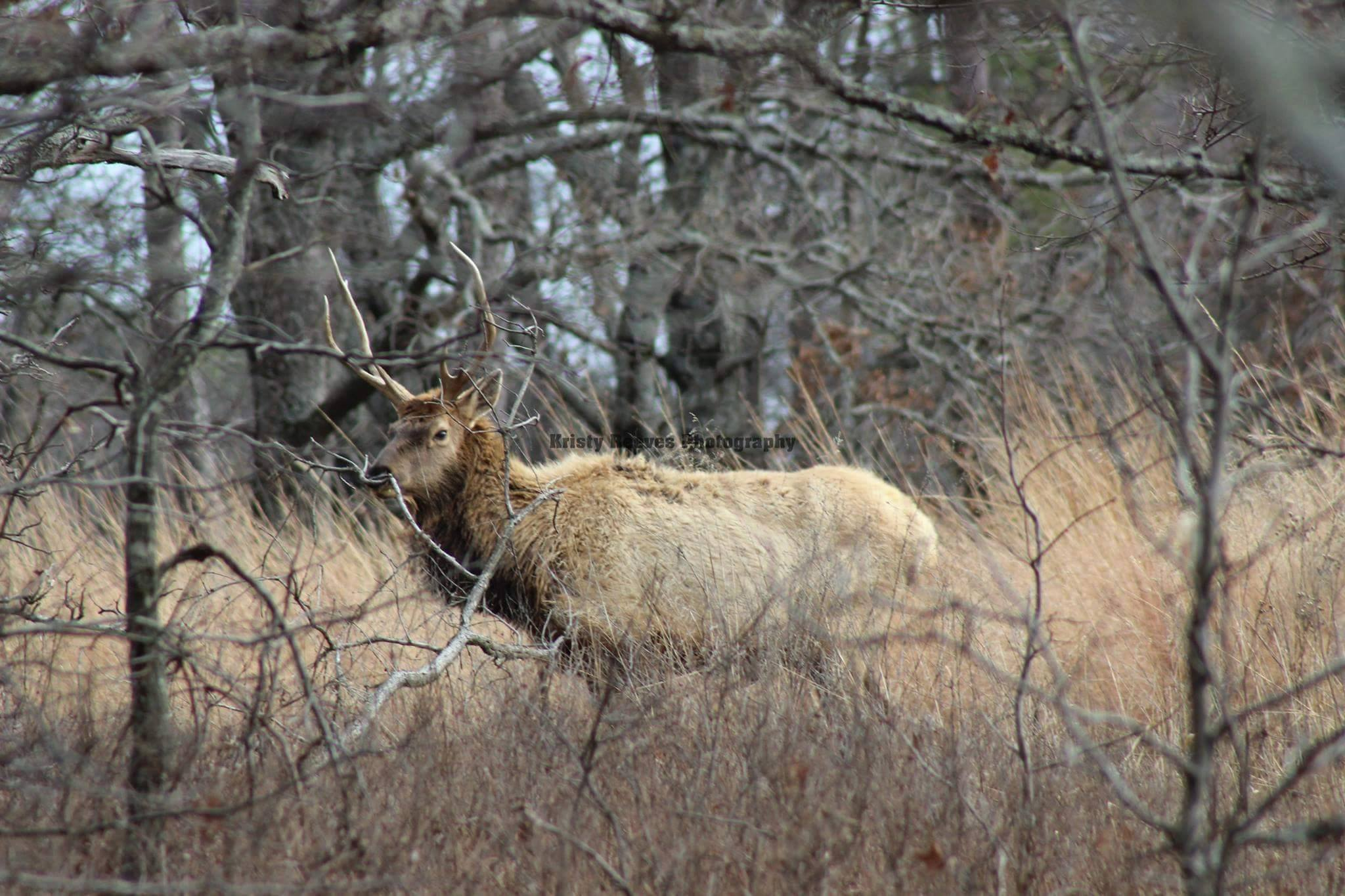 Steve Russell: Cherokee citizens upset with death of beloved elk