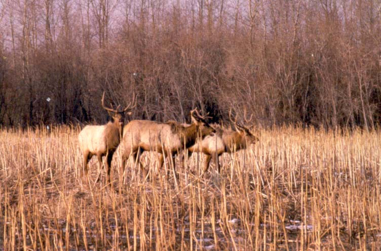 Fond du Lac Band looking to restore wild elk to the reservation