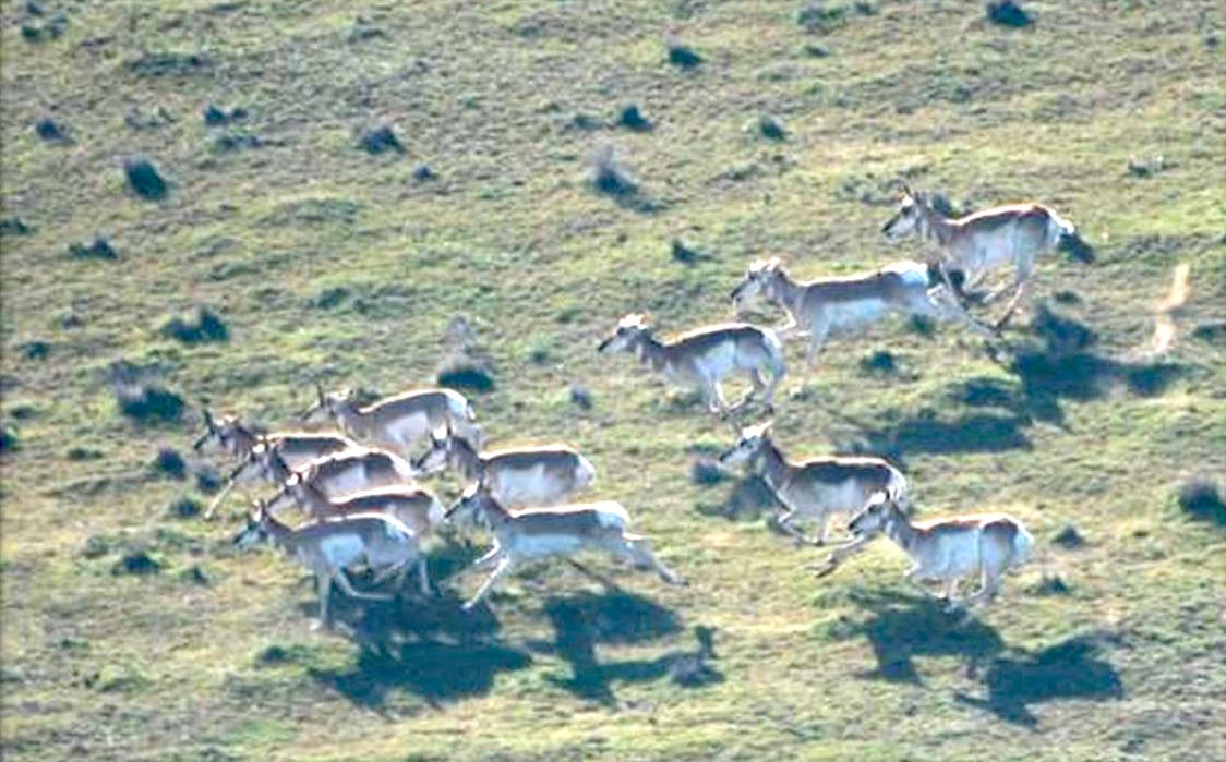 Colville Tribes reintroduce 52 pronghorn antelope to reservation