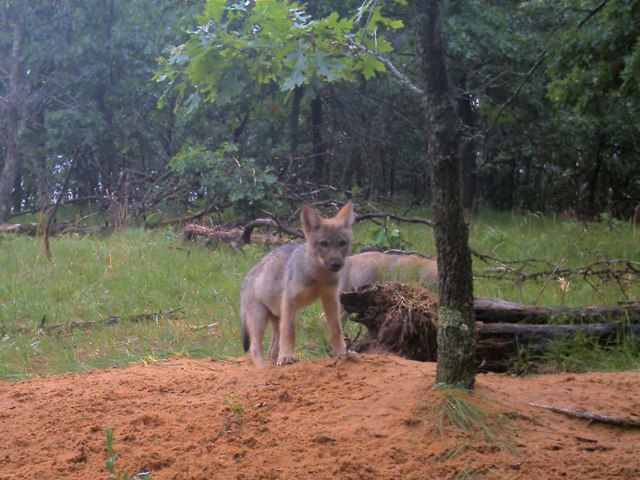 Melissa Smith: Wolves in danger in Wisconsin's political climate
