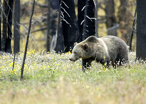 Tribes host prayer ceremony for grizzly bear at Glacier National Park