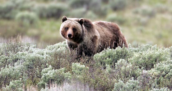Native Sun News: Oglala Sioux Tribe blasts grizzly bear decision
