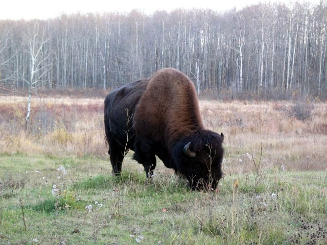 Blackfeet Nation welcomes bison from Canada with unique treaty