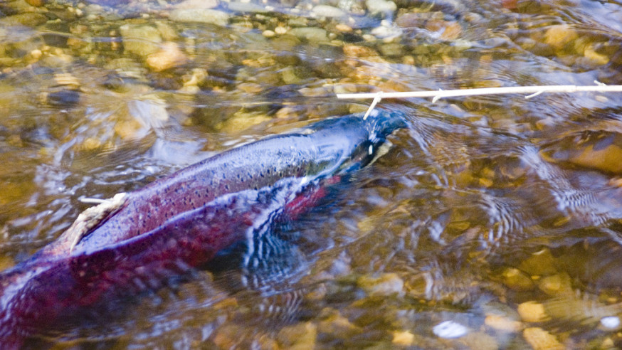 Washington tribes to submit fish management plan after talks fail