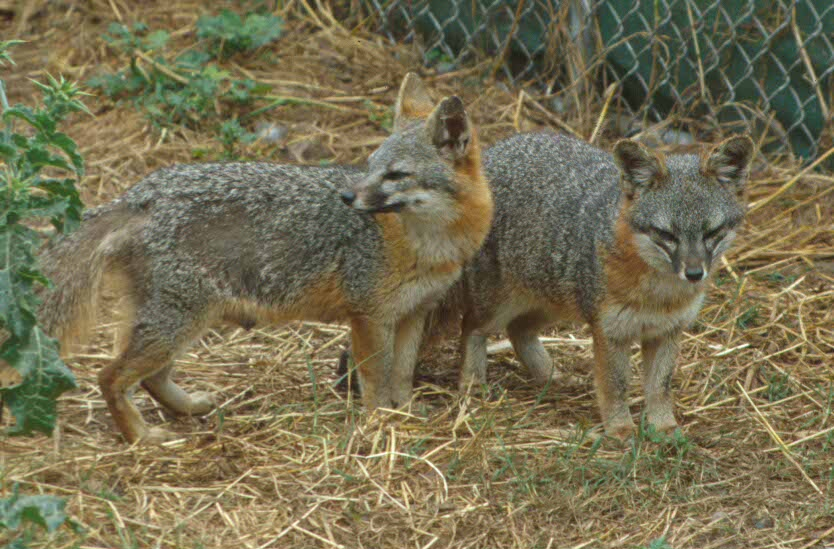 Foxes brought to Channel Islands by tribal ancestors are unique