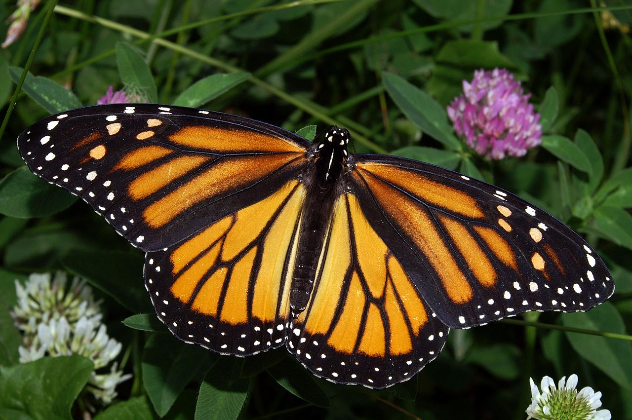 Oklahoma tribes to help restore habitats for monarch butterfly