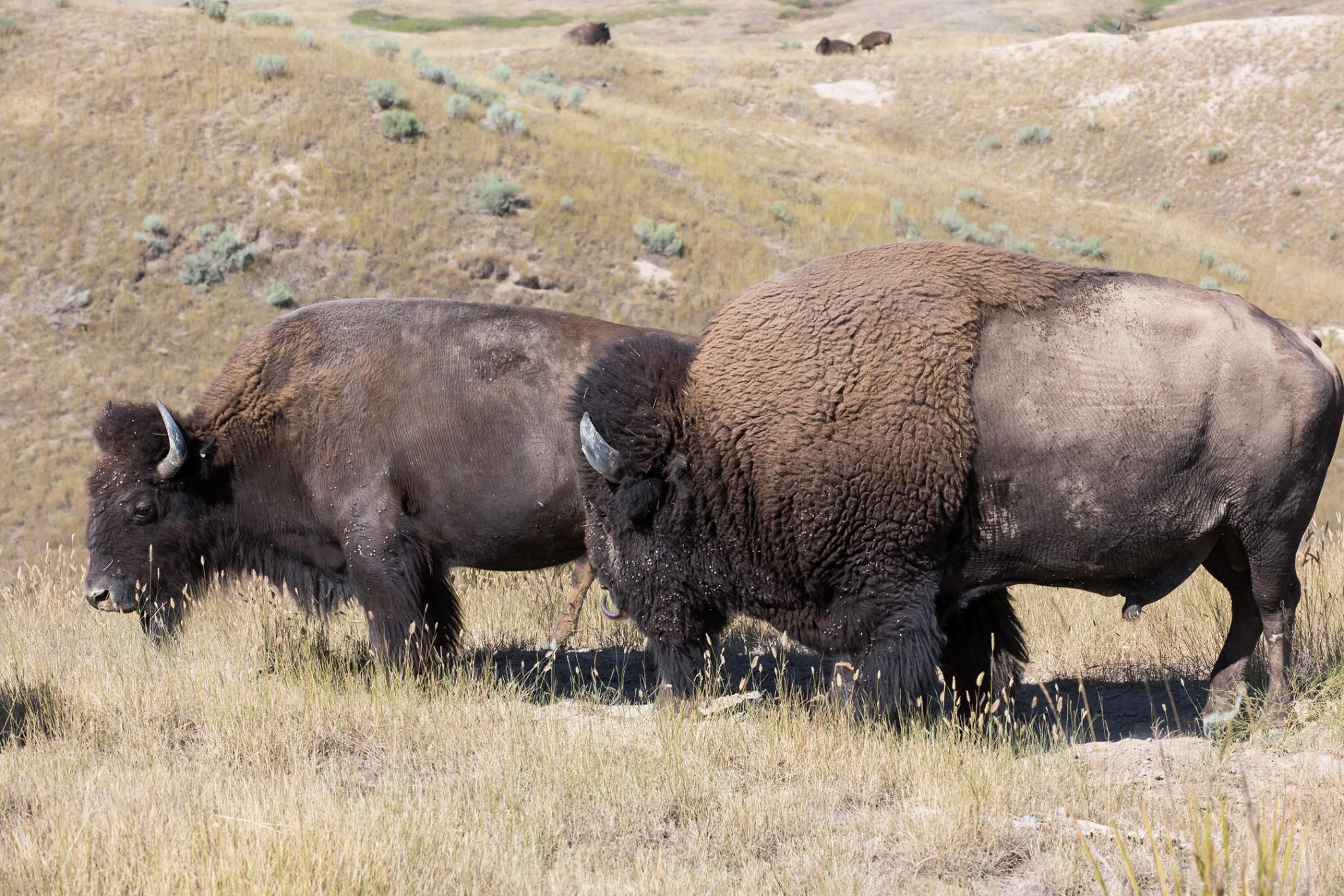 Vernon Finley: Confederated Salish and Kootenai Tribes seek return of National Bison Range