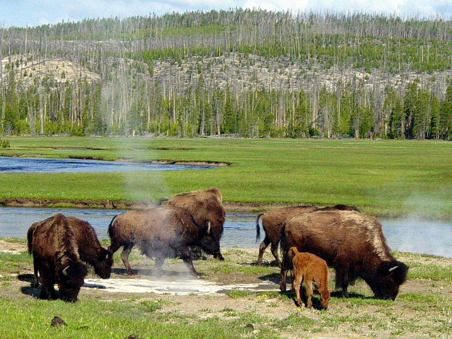 Native Sun News Today: Protecting buffalo from extinction again