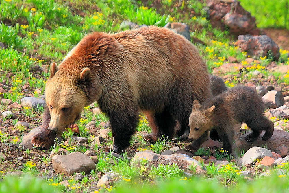 9th Circuit hears appeal on protections for Yellowstone grizzlies