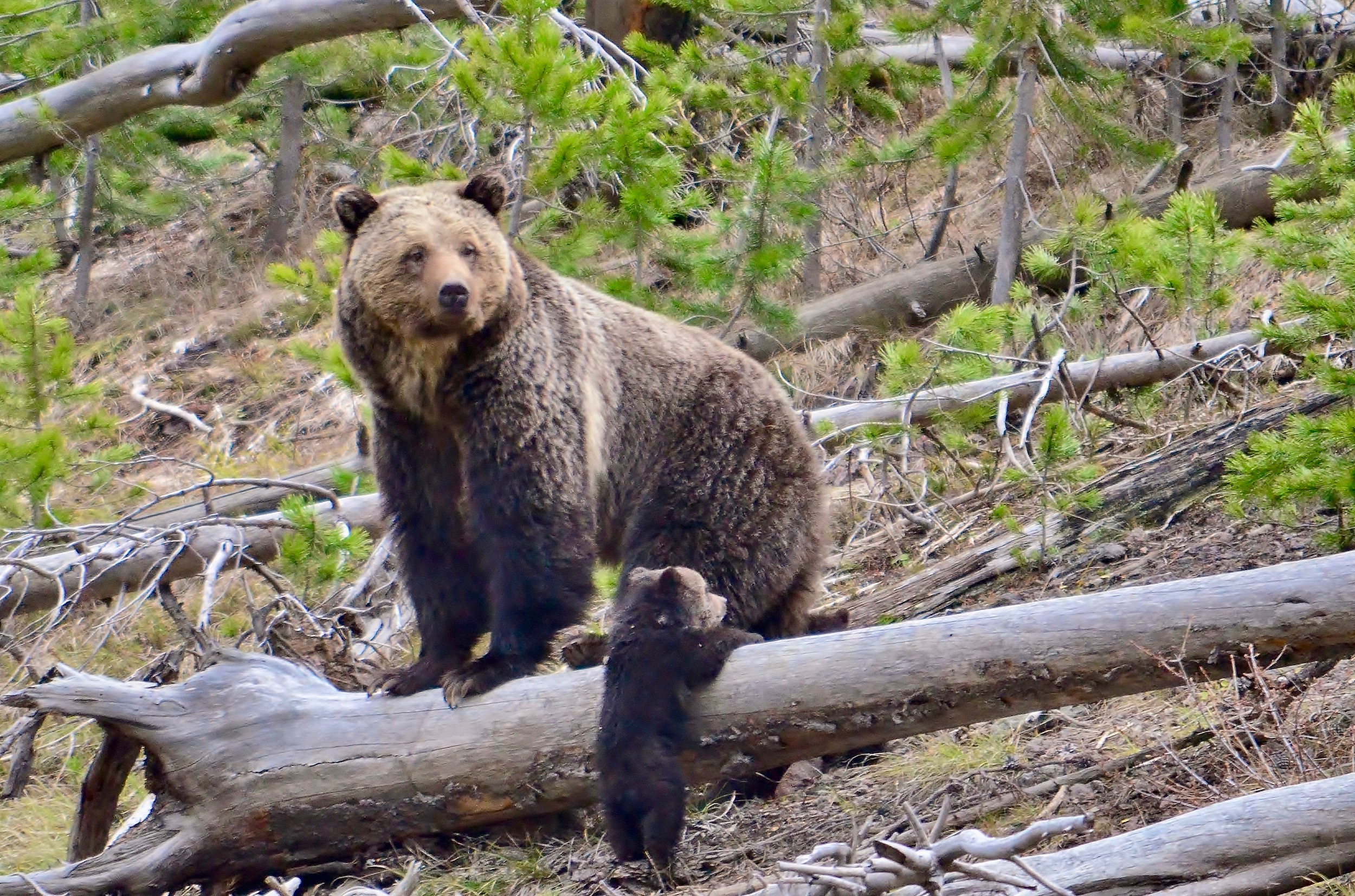 Tribes win decision blocking grizzly bear hunts near Yellowstone