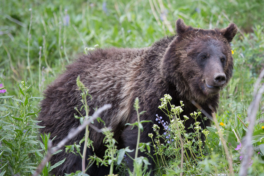 Protections for Yellowstone grizzly bears lifted as tribes seek day in court