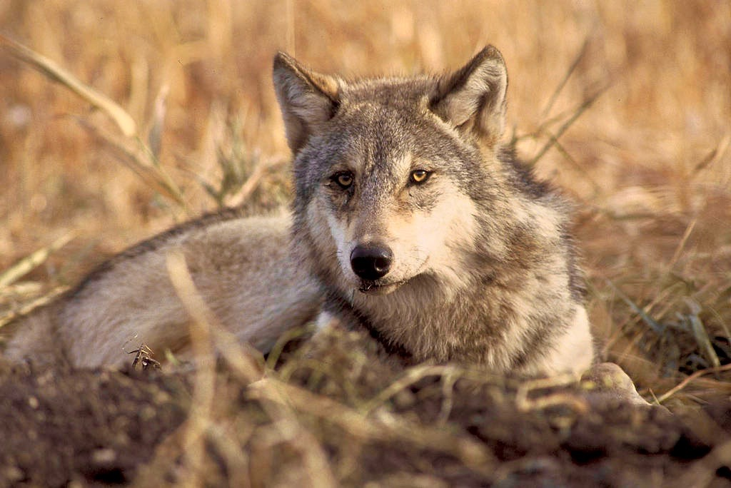 Colville Tribes approve wolf hunting season on former reservation in Washington