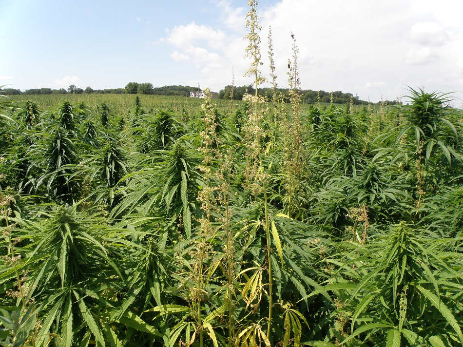 White Earth Nation looks to diversify economy with first hemp crop on reservation