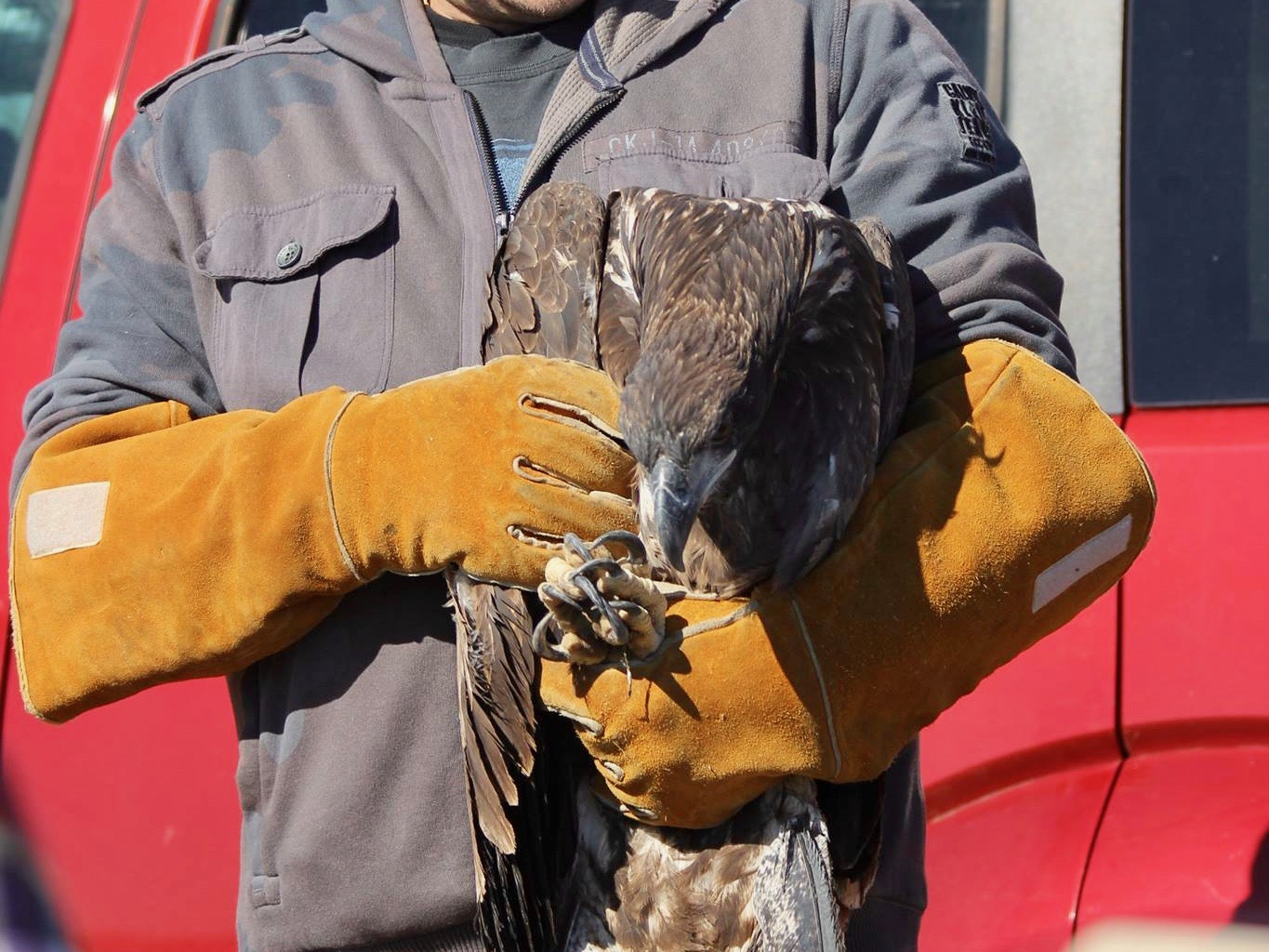Sisseton Wahpeton Oyate celebrates release of bald eagle that had been shot