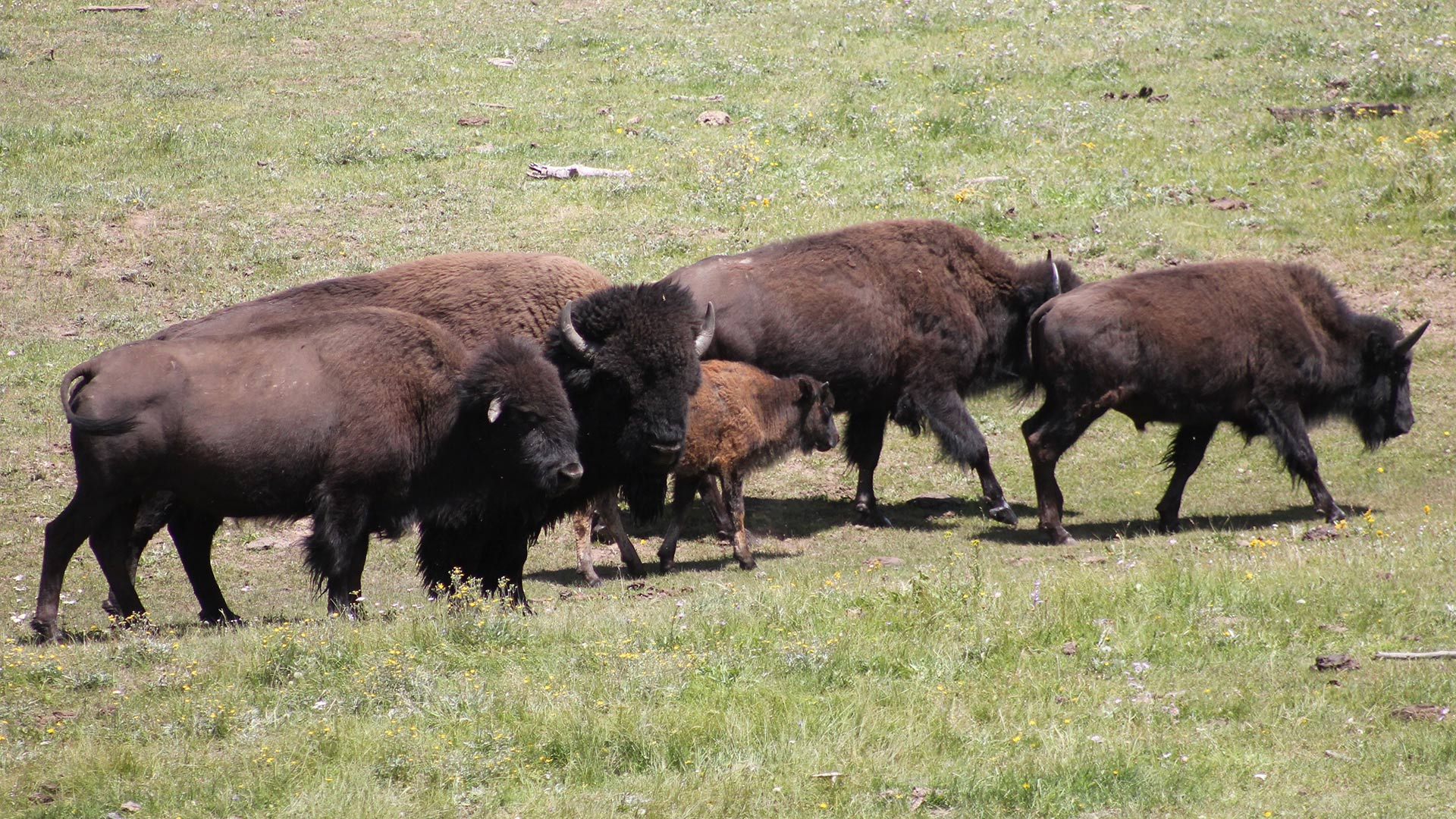 Cronkite News: Plans move forward to reduce bison in Grand Canyon National Park