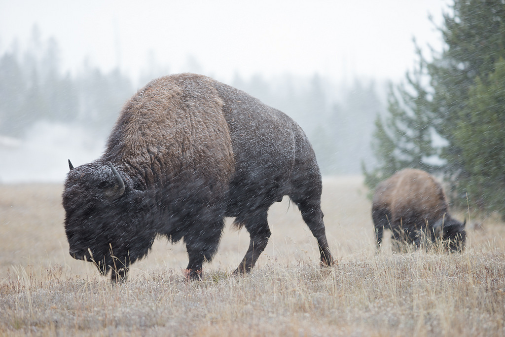 Blackfeet Nation issues licenses for bison hunt outside of Yellowstone