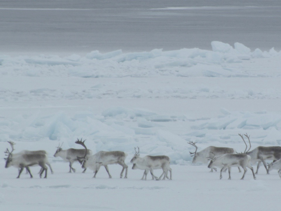 Study confirms Inuit knowledge about movements of caribou herds