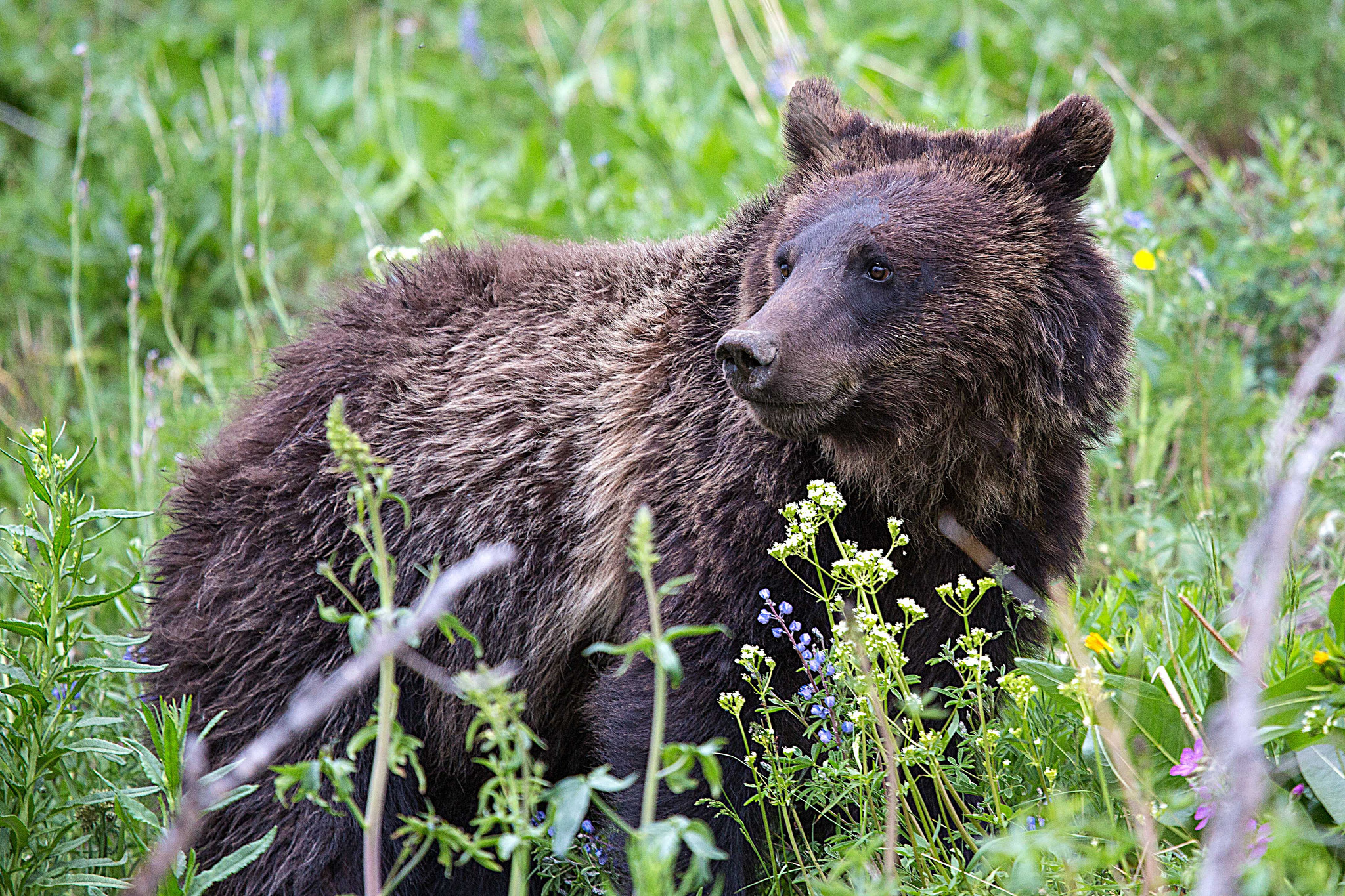 Judge extends order against grizzly bear hunts near Yellowstone