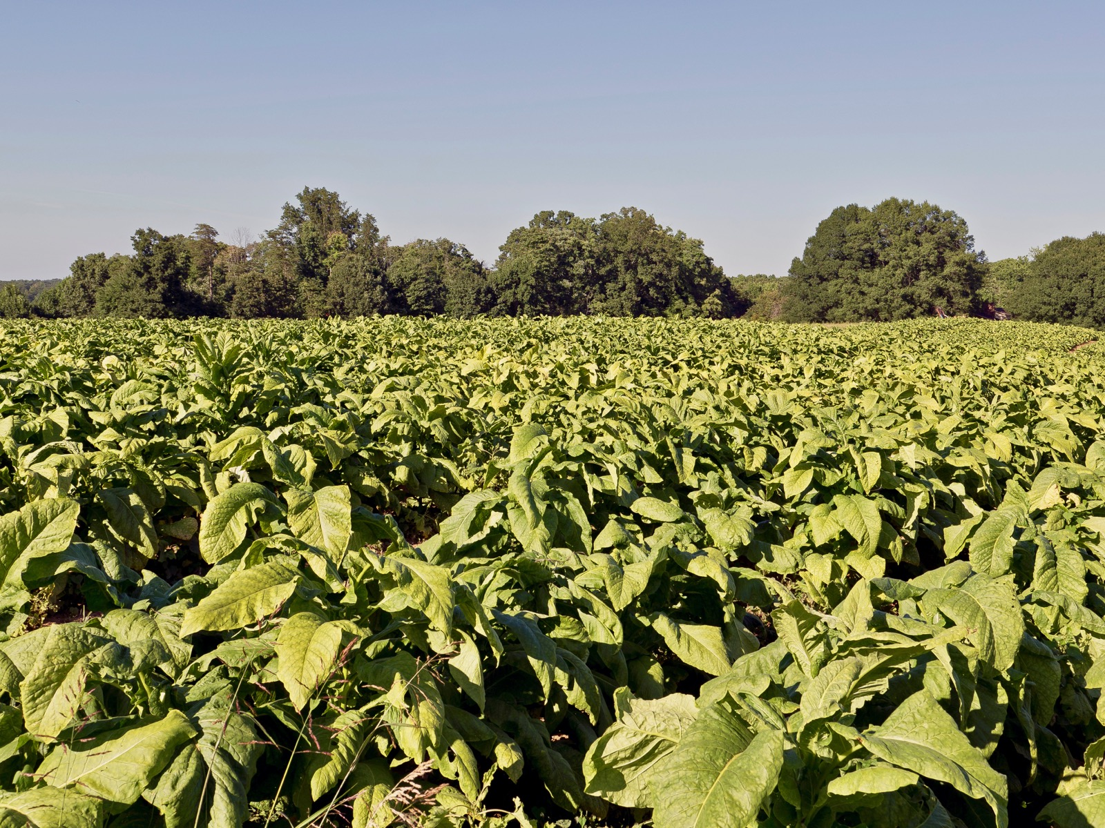 Study pushes back earliest date of tobacco usage in North America