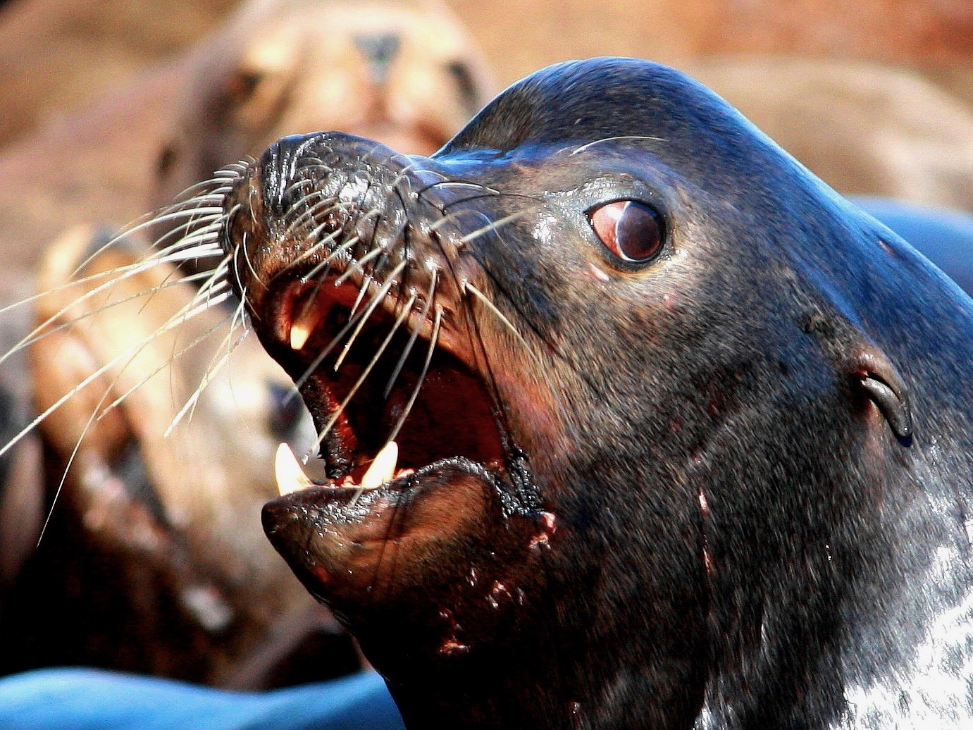 Salmon recovery threatened by rising numbers of sea lions