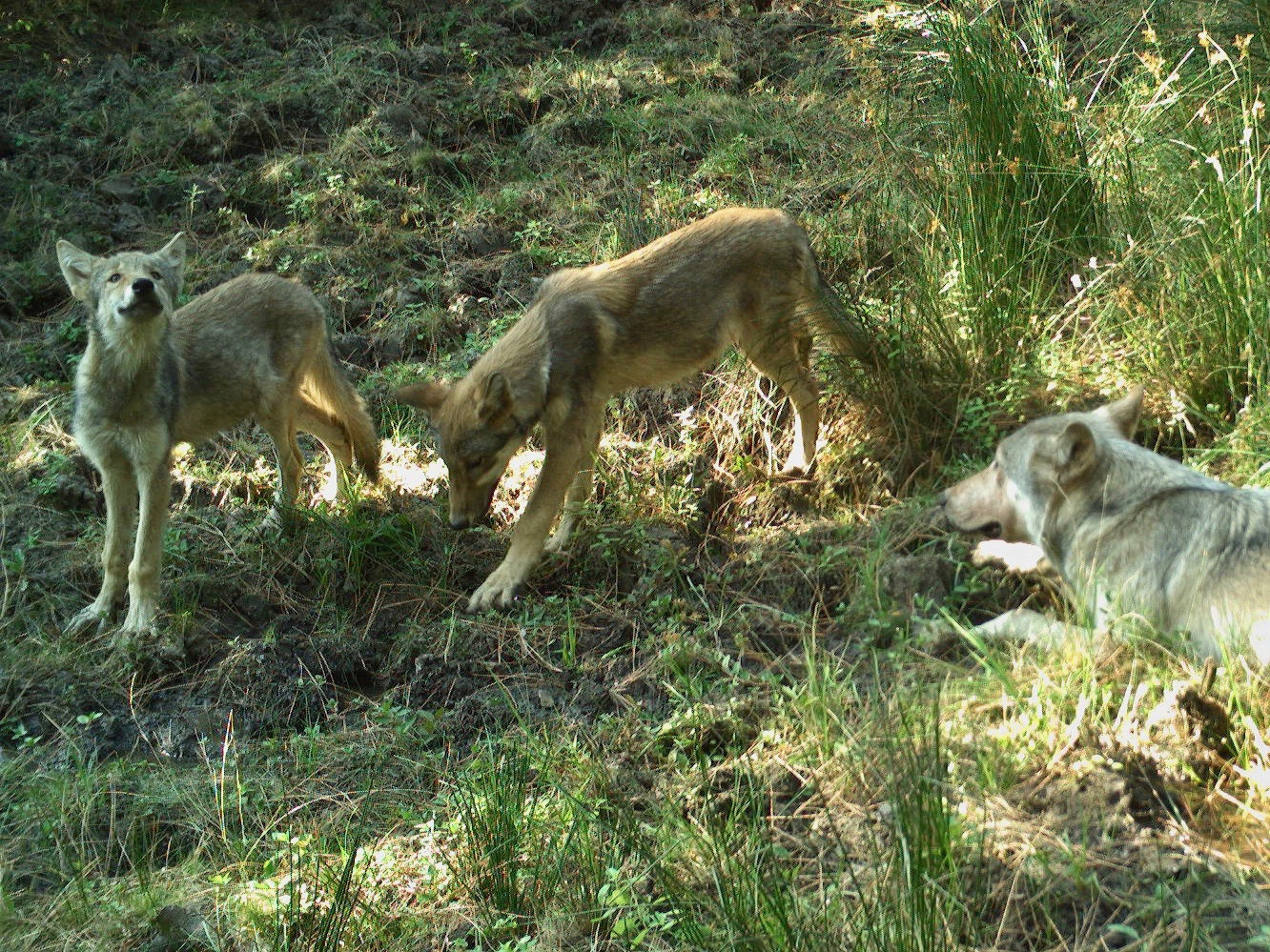Warm Springs Tribes capture images of first wolf pups