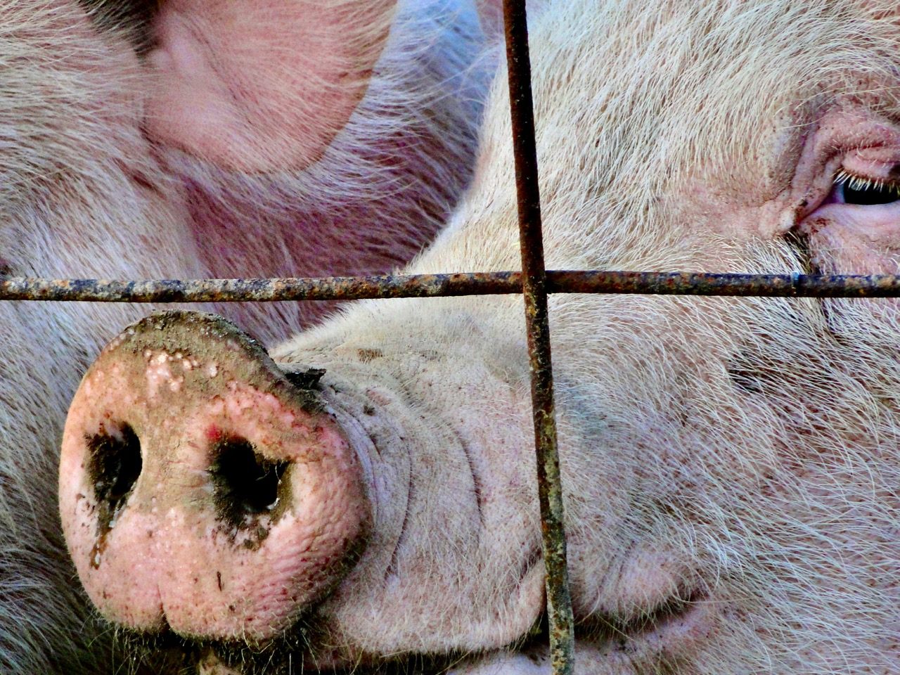 No more 'Midwest nice': Families fight huge hog farms