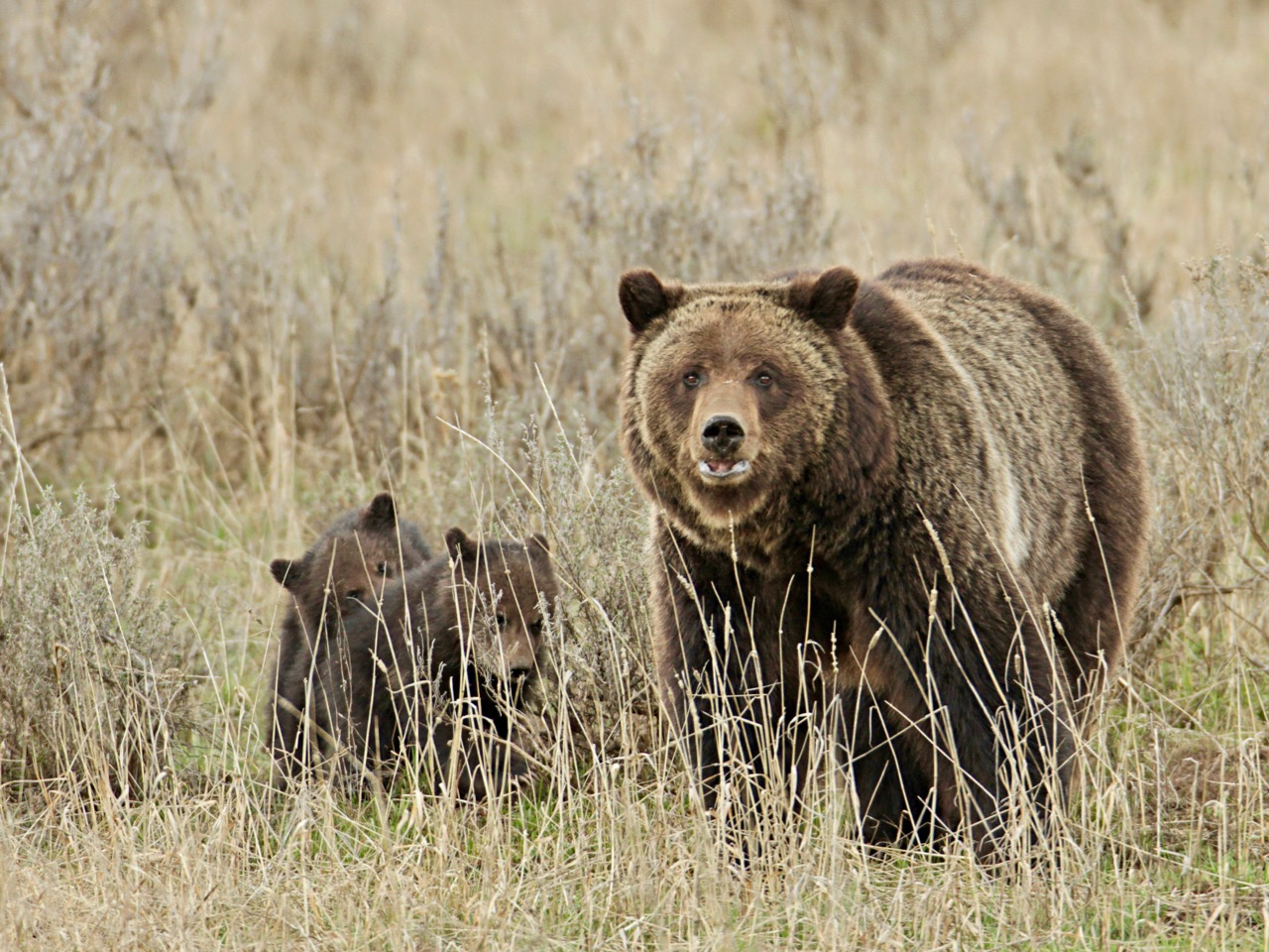 Clara Caufield: Reflections about grizzly and black bears