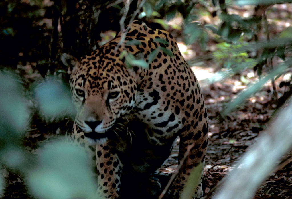 The Revelator: Jaguars once thrived in the Americas. Until borders arrived.
