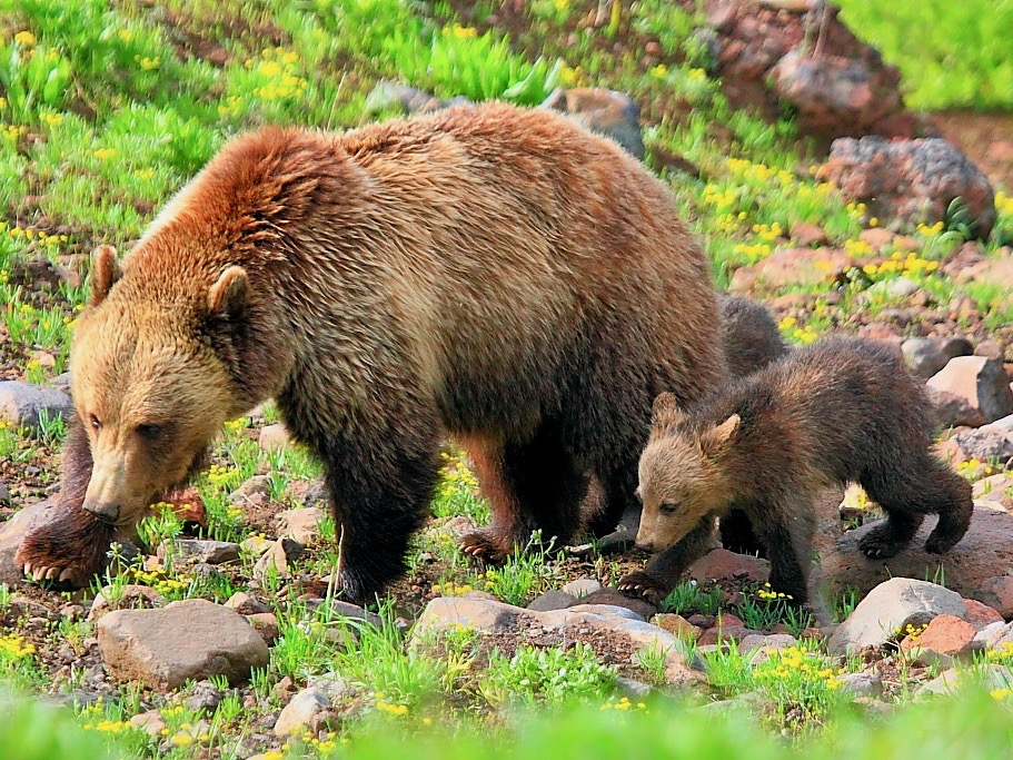 Grizzly Bear Advisory Council struggles with 'herculean' challenge in Missoula