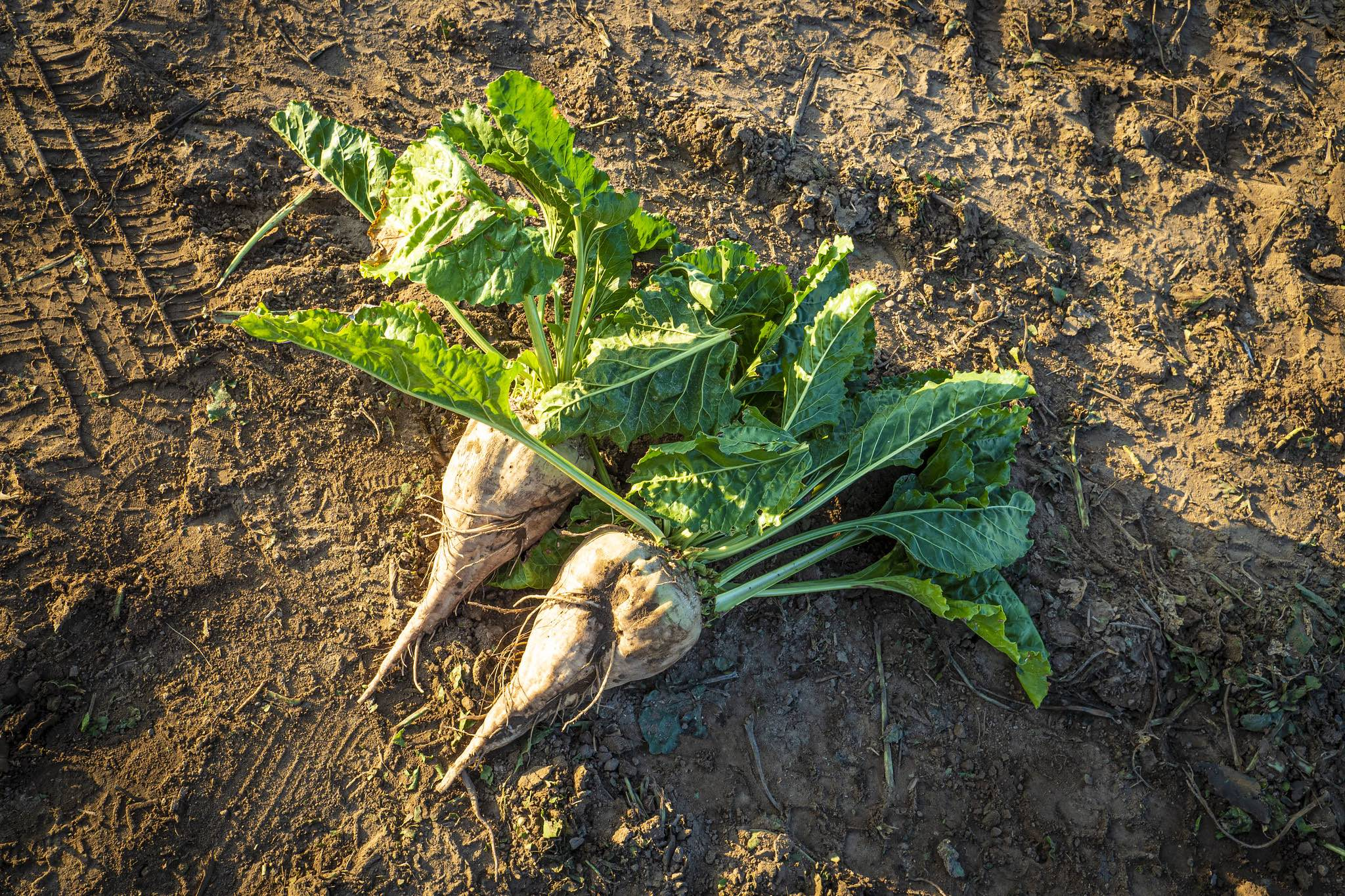 Tim Giago: Learning life's lessons on a sugar beet farm